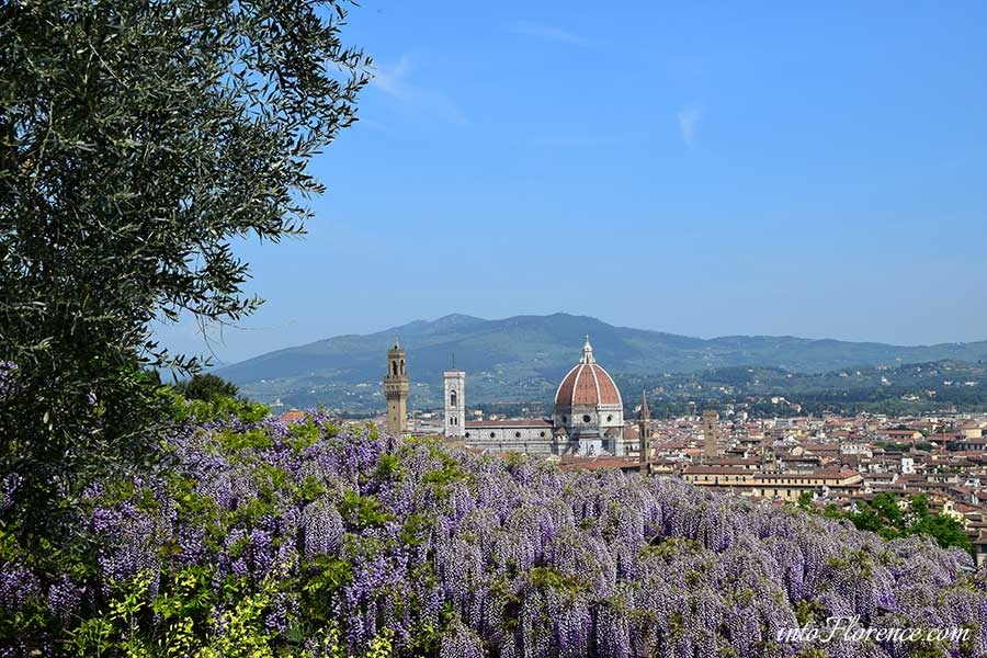 Wisteria Florence